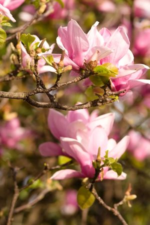 Magnolia is a large genus of about 210[1] flowering plant species in the subfamily Magnolioideae of the family Magnoliaceae. Stock Photo - 3287521