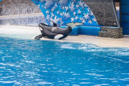 trained: Shamu is the stage name of SeaWorlds iconic Orcas (killer whale) show, which is shared by numerous adult male or female orcas at the SeaWorld parks.