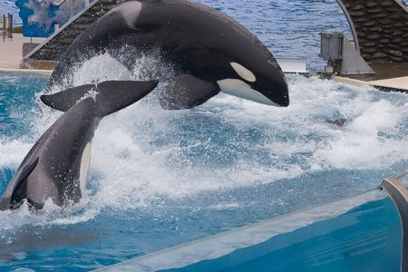 Shamu is the stage name of SeaWorld's iconic Orcas (killer whale) show, which is shared by numerous adult male or female orcas at the SeaWorld parks.