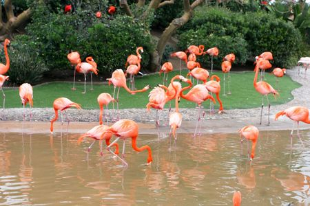 The Greater Flamingo (Phoenicopterus roseus) is the most widespread species of the flamingo family. It is found in parts of Africa, southwest Asia, southern Asia and southern Europe photo