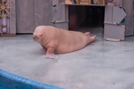warts: The walrus (Odobenus rosmarus) is a large flippered marine mammal with a discontinuous circumpolar distribution in the Arctic Ocean and sub-Arctic seas of the Northern Hemisphere. Stock Photo