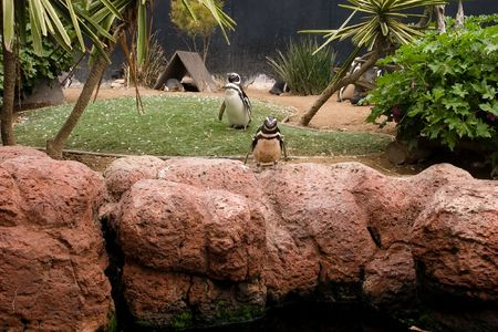 exclusively: Penguins (order Sphenisciformes, family Spheniscidae) are a group of aquatic, flightless birds living almost exclusively in the Southern Hemisphere.