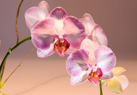 phal: Phalaenopsis  is a genus of approximately 60 species of orchids ( Orchidaceae). The abbreviation in the horticultural trade is Phal.