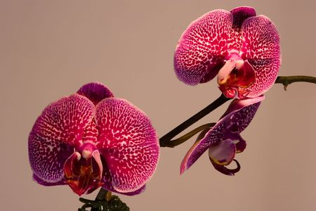 phal: Phalaenopsis (Blume 1825) is a genus of approximately 60 species of orchids ( Orchidaceae). The abbreviation in the horticultural trade is Phal.