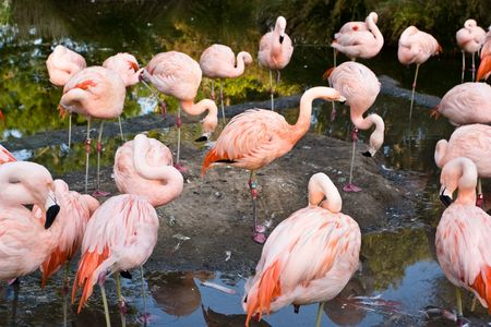 which: Chilean Flamingo (Phoenicopterus chilensis) is a large species (110-130 cm) closely related to Caribbean Flamingo and Greater Flamingo, with which it is sometimes considered conspecific. Stock Photo