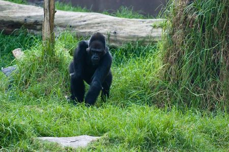 montane: Western Lowland Gorilla (Gorilla gorilla gorilla) is a subspecies of the Western Gorilla (Gorilla gorilla) that lives in montane, primary, and secondary forests and lowland swamps