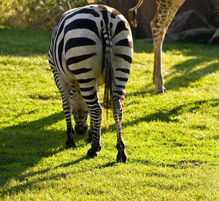 distinctive: Zebras are African equids best known for their distinctive white and black stripes. Stock Photo