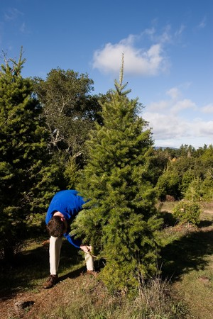 which: Christmas tree cultivation is an agricultural, forestry, and horticultural occupation which involves growing pine, spruce, and fir trees specifically for use as Christmas trees.
