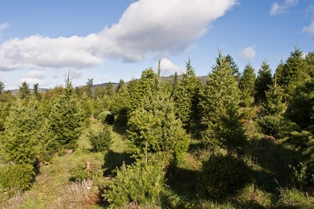 Christmas tree cultivation is an agricultural, forestry, and horticultural occupation which involves growing pine, spruce, and fir trees specifically for use as Christmas trees.