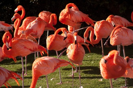 The American Flamingo or Caribbean Flamingo (Phoenicopterus ruber) is a large species of flamingo closely related to the Greater Flamingo and Chilean Flamingo. 版權商用圖片