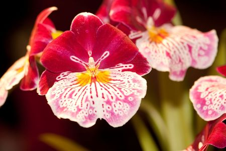 abbreviated: Miltonia, abbreviated Milt in horticultural trade, is a small genus of the orchid family (Orchidaceae). They are named after Lord Fitzwilliam Milton, an English orchid enthusiast.