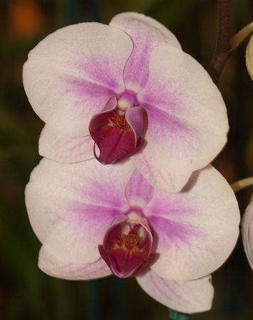 phal: Phalaenopsis (Blume 1825) is a genus of approximately 60 species of orchids (family Orchidaceae). The abbreviation in the horticultural trade is Phal. Phalaenopsis is one of the most popular orchids in the trade, through the development of many artificial