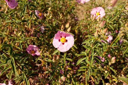rosemallow: Il genere Hibiscus comprende piante anche comunemente chiamato ibisco e meno largamente conosciuto come rosemallow. Archivio Fotografico
