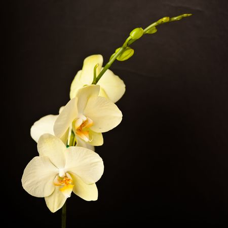 Phalaenopsis is a genus of approximately 60 species of orchids (family Orchidaceae). The abbreviation in the horticultural trade is Phal.