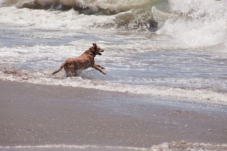 Dog running and playing on the ocean beach. Stock Photo - 5162665