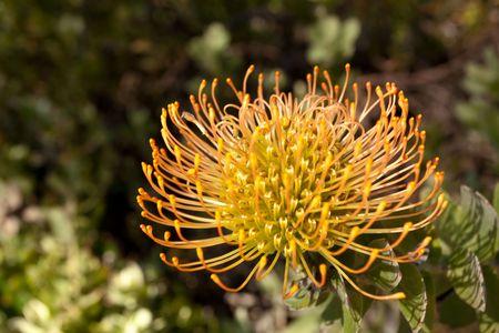 Roja Pincushion Protea (Leucospermum cordifolium) pertenece a la familia y Protea es autóctona de Sudáfrica. Foto de archivo - 5162670