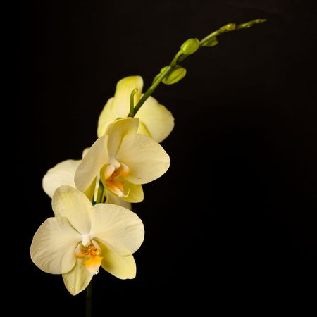 phal: Phalaenopsis is a genus of approximately 60 species of orchids (family Orchidaceae). The abbreviation in the horticultural trade is Phal.