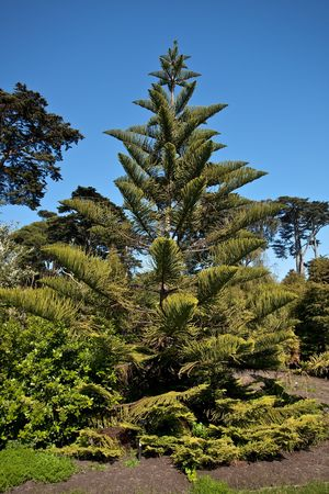 distinctive: Norfolk Island Pine (Araucaria heterophylla) is a distinctive conifer, a member of the ancient and now disjointly distributed family Araucariaceae.