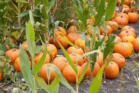 The carving of pumpkins is associated with Halloween in North America