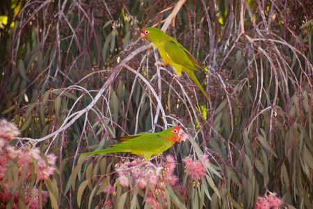 psittacidae: Mitred Parakeet (Aratinga mitrata), also known as the Mitred Conure in aviculture, is a species of parrot in the Psittacidae family. It is native to the Andes from north-central Peru, south through Bolivia, to north-western Argentina, with introduced popu Stock Photo