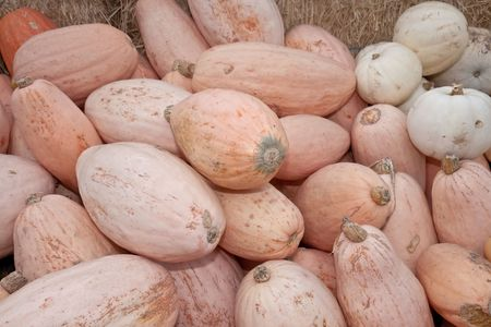 easier: The carving of pumpkins is associated with Halloween in North America where pumpkins are both readily available and much larger- making them easier to carve than turnips.[12] Many families that celebrate Halloween carve a pumpkin into a frightening or com