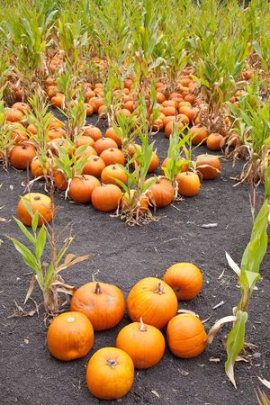 readily: The carving of pumpkins is associated with Halloween in North America where pumpkins are both readily available and much larger- making them easier to carve than turnips.[12] Many families that celebrate Halloween carve a pumpkin into a frightening or com