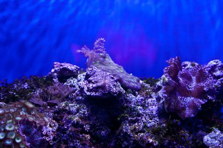 anthia: Anthozoa is a class within the phylum Cnidaria that contains the sea anemones and corals.