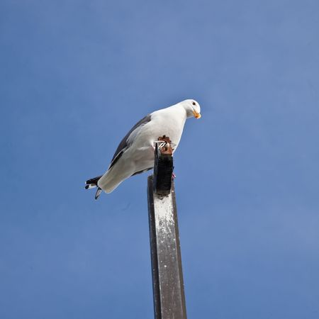 The California Gull Larus californicus is a medium-sized gull, smaller than the Herring Gull but larger than the Ring-billed Gull. photo