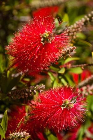callistemon citrinus: Bottlebrush (Callistemon) is a genus of 34 species of shrubs in the family Myrtaceae.