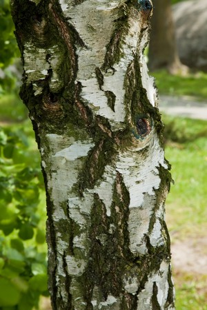 fagaceae: Birch is the name of any tree of the genus Betula  in the family Betulaceae, closely related to the beechoak family, Fagaceae.