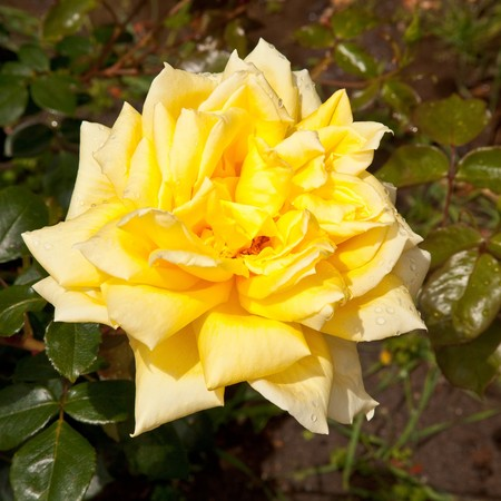 A rose is a perennial flower shrub or vine of the genus Rosa, within the family Rosaceae, that contains over 100 species and comes in a variety of colours. 版權商用圖片