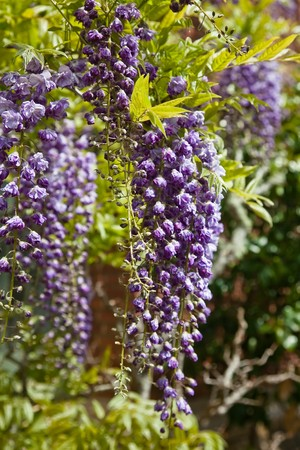 fabaceae: Wisteria (also spelled Wistaria) is a genus of flowering plants in the pea family, Fabaceae.