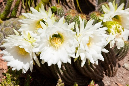 Blooming colorful cactus garden in springtime photo