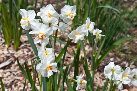 수선화는 유럽, 북아프리카 및 아시아 원주민 Amaryllis 계통의 주로 강건한, 주로 봄 꽃이 피는 구근 속의 식물 이름입니다.