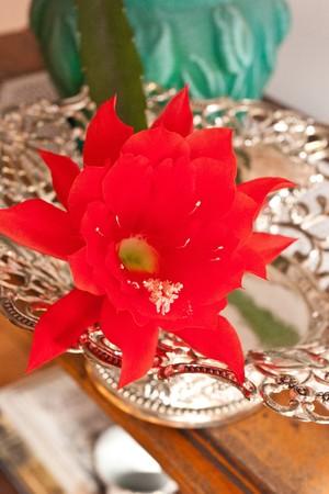 cactus species: Epiphyllum es un g�nero con 19 especies de plantas ep�fitas perteneciente a la familia de cactus (Cactaceae), nativa de Am�rica Central.