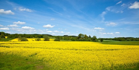 Yellow field of blooming canola in Greater Poland Stock Photo - 7700197