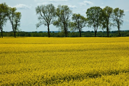 Yellow field of blooming canola in Greater Poland Stock Photo - 7700312