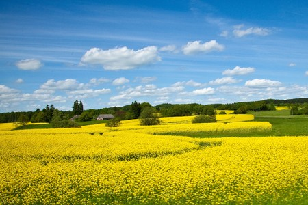 Yellow field of blooming canola in Greater Poland Stock Photo - 7809688