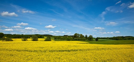 Yellow field of blooming canola in Greater Poland Stock Photo - 8092654