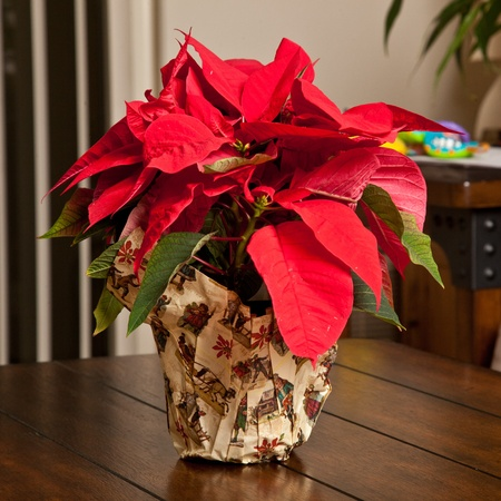 Poinsettias are popular Christmas decorations in homes, churches, offices, and elsewhere across North America