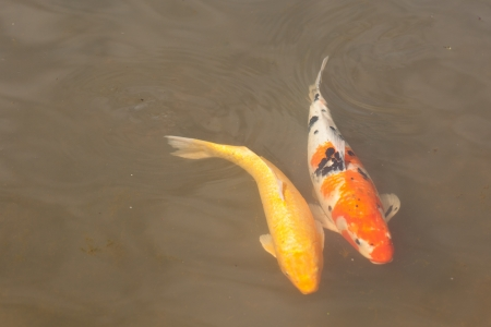 Decorative pond with koi fish in Japanese garden. photo