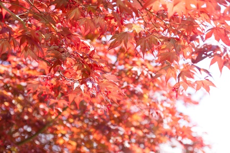acer: Red Maple (Acer rubrum ) is one of the most common and widespread deciduous trees of eastern North America.