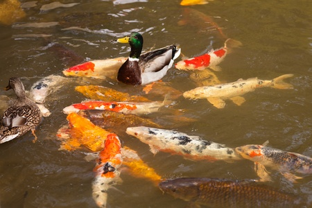 Decorative pond with koi fish in Japanese garden. Stock Photo
