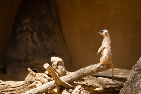 Meerkat or suricate (Suricata suricatta), a small mammal, is a member of the mongoose family. photo