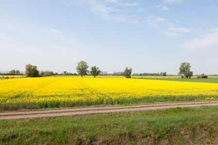 Yellow field of blooming canola in Poland Stock Photo - 9735786