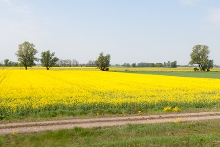 Yellow field of blooming canola in Poland Stock Photo - 9736114