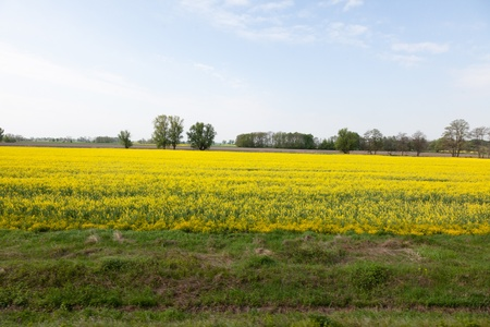 Yellow field of blooming canola in Poland Stock Photo - 9828227