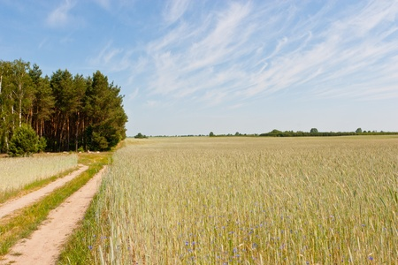 Rye (Secale cereale) is a grass grown extensively as a grain and as a forage crop. It is a member of the wheat tribe (Triticeae) and is closely related to barley and wheat. Stock Photo - 10393031