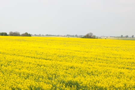 Yellow field of blooming canola in Poland photo
