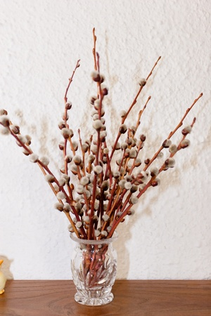when: Pussy willow is a name given to many of the smaller species of the genus Salix (willows and sallows) when their furry catkins are young in early spring. Stock Photo